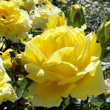 roses by post rose bush gifts buy online send a gift