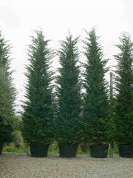 trees planet cupressocyparis leylandii leyland cypress