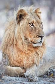 the 25 best largest lion ideas on pinterest ligers female