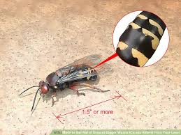 How To Get Rid Of Backyard Flies by How To Get Rid Of Ground Digger Wasps Cicada Killers From Your Lawn