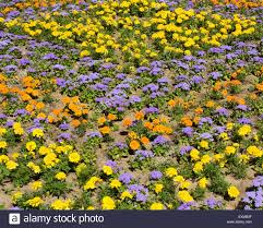 flower bed with yellow and orange marigolds and blue ageratum