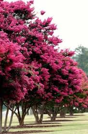 buy a beautiful pink dogwood to add to your landscape and help a