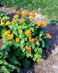 teddy sunflowers mexican sunflowers teddy sunflowers and other types hgtv