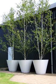 best plants you can grow in containers betula pendula