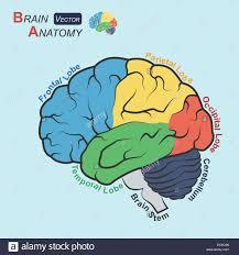 brain anatomy coloring book neonatal head anatomy images learn human anatomy image