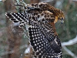 red shouldered hawk audubon field guide