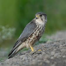 Florida birds images Birds of prey in florida birding in jpg