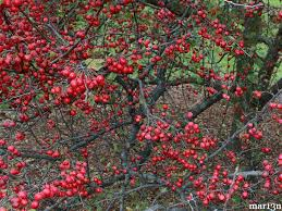 molten lava flowering crabapple with tiny apples in early autumn