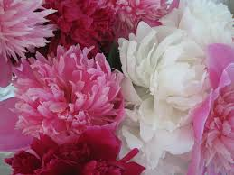 Peony Flowers Peony Wallpapers Wallpaper Cave