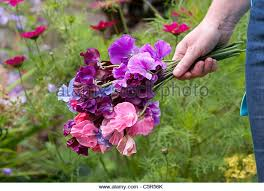 Sweet Pea Images Flower - picking sweet pea flowers stock photos u0026 picking sweet pea flowers