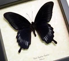 black butterflies insects archives framed butterflies and
