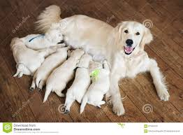 How To Look Happy by How To Look After A Puppy Golden Retriever U2013 Dog Life Photo