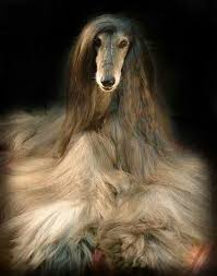 afghan hound blonde magnificent creatures afghan hounds pinterest afghan