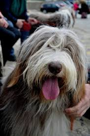 bearded collie brown bearded collies by amy wright on etsy bearded collies