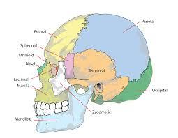Anatomy Of The Human Skeleton File Human Skull Side Simplified Bones Svg Wikipedia