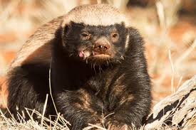 Honey Badger Memes - no one cares about honey badger don t care except these