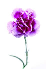 Purple Carnations Purple Carnations Hd Pictures U2013 Over Millions Vectors Stock