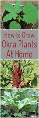 Okra Plant Diseases - how to grow okra plants at home home gardeners