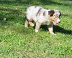 mini australian shepherd 7 weeks wranglin aussies sydney and jango u0027s past litter australian shepherds
