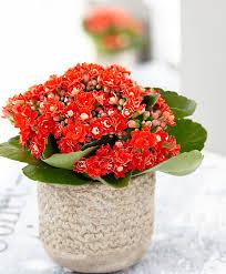 Buy House Plants Buy House Plants Now Double Flowered Kalanchoe Rosalina U0027don