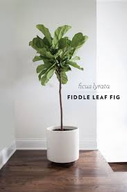 fiddle leaf fig i m going to place one in the living room area