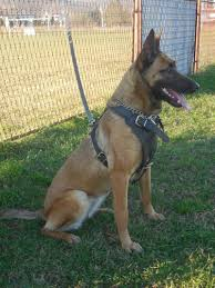 belgian malinois names gallery belgian malinois female 23 months excellent dog