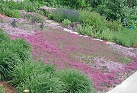 red creeping thyme grows 3 inches tall max so very neat no
