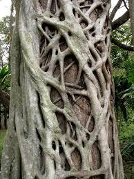 Dominant Plants Of The Tropical Rainforest - strangler fig broken river eungella national park queensland