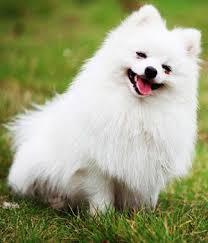 american eskimo dog vs pomeranian pomeranian breed info characteristics hypoallergenic no all my