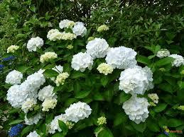 Ambiance Et Jardin Hortensia Blanc Jardin Et Fleurs Pinterest Moon Garden