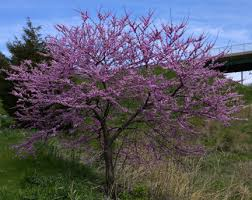 tree with purple flowers flowering trees the gateway gardener