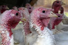 no shortage of fresh maine turkeys this thanksgiving bangor daily