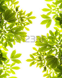 fresh light green tree leave isolated on white background stock