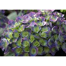 purple hydrangea cityline hydrangea macrophylla strong blue