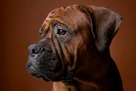 boxer dog reverse brindle what is a black sealed brindle boxer dog care the daily puppy