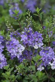 best 25 evergreen shrubs ideas on pinterest shrubs dwarf