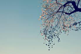 Cherry Blossom Tree Facts by Japan Sakura Season Why Are Cherry Blossoms So Special U2013 Mao Is