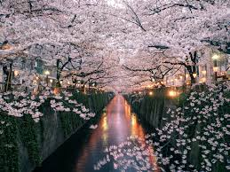 the best tokyo neighborhood for seeing japan u0027s cherry blossoms
