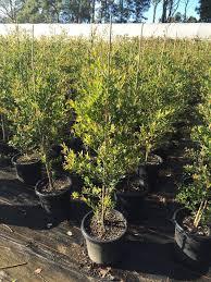 acmena smithii minor large 300mm pot budget wholesale nursery sydney