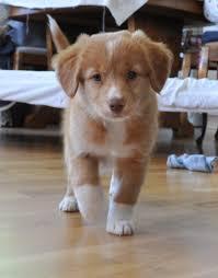 belgian shepherd nova scotia the 25 smartest dog breeds certapet