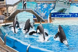 Seaworld Map San Diego by Drowning In Negative Publicity Seaworld Ends Killer Whale Breeding
