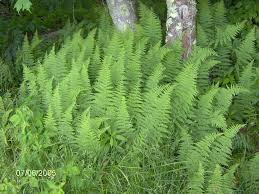 wisconsin native plants native ferns kollar nursery