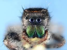 halloween jumping spider nature up close spiders cbs news