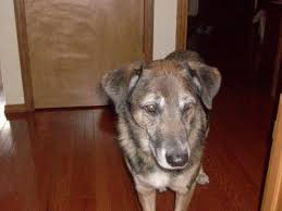 belgian malinois energy belgian malinois dogs belgian malinois dog breed info u0026 pictures