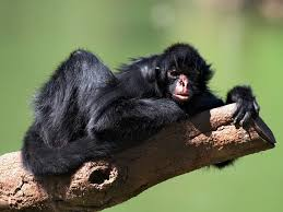 black spider monkey facts history useful information and amazing