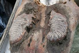 photos 40 000 mammoth autopsy
