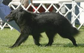 belgian sheepdog newsletter gait belgian sheepdog club of america
