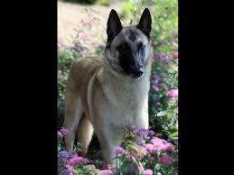 belgian shepherd national specialty stahlrosenhof janet wolff puppies for sale