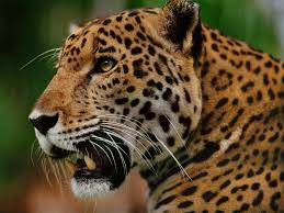 jaguar jaguar supercat big cat week episode nat geo wild