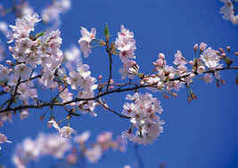 cherry blossoms in ota city ota city official travel guide